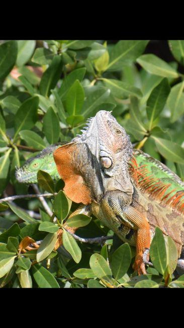 2 iguanas