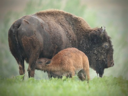 Baby Bison NursingFAV