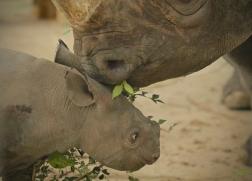 Baby Rhino and Mama VER2