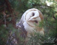 barn-owl-WM