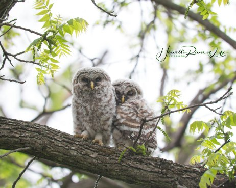 barred-owlets