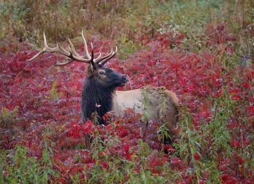 Elk IMG_3514