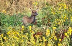 Elk in Flowers