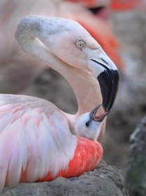 Flamingo and Baby-to print