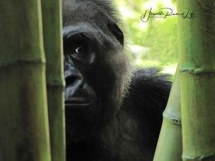 gorilla-WM