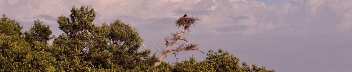 Osprey in Nest for Website