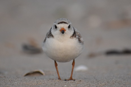 piping plover from Chincoteague