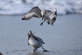 two sanderlings fighting part 2