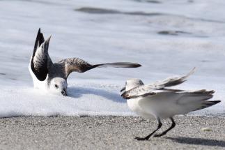 two sanderlings fighting