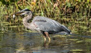 Great blue Heron with fish 2018