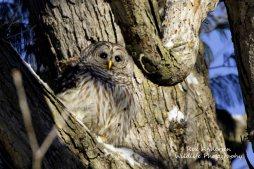 Barred Owl_0454